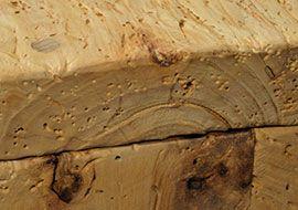 legno antico di Pioppo